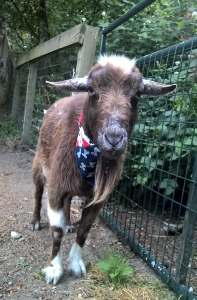 Lagniappe the goat wants to celebrate in style, too!