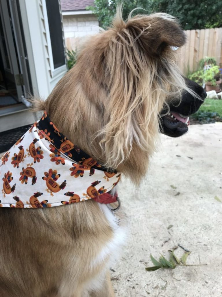 Lucy looking for squirrels in her Thanksgiving dog scarf in the yard in her new scarf