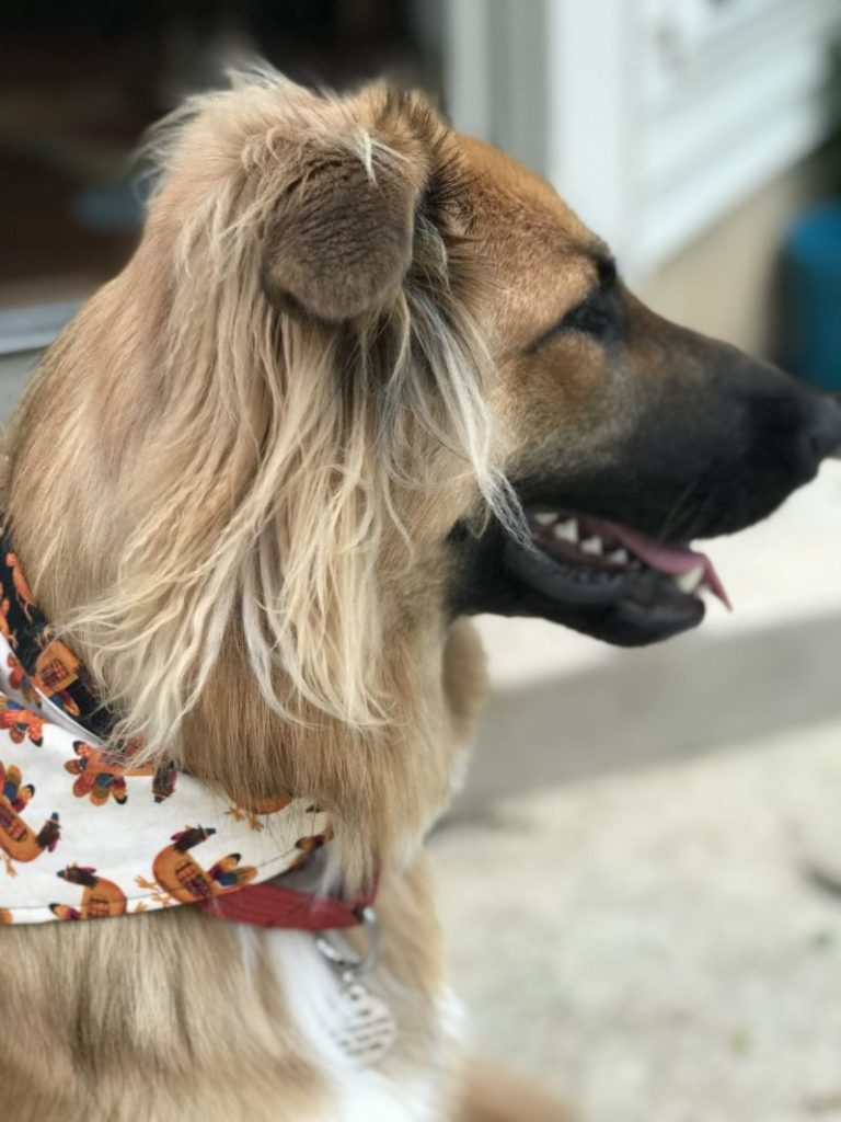 Close up of reversible thanksgiving dog scarf
