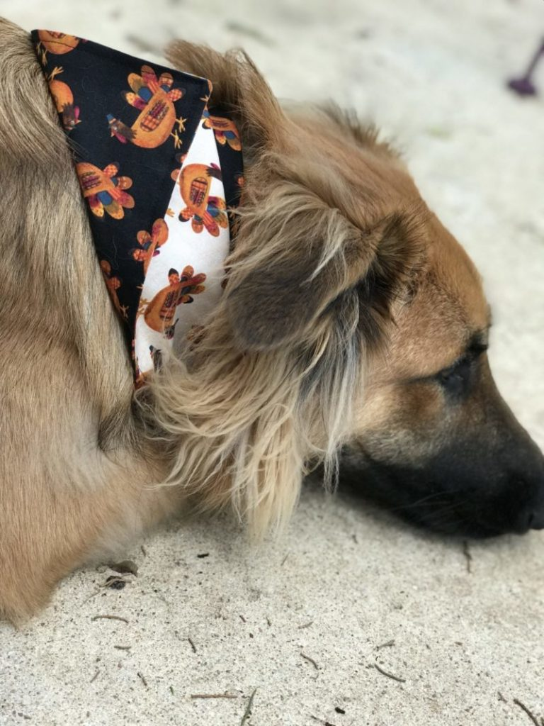 Lucy sporting her new Thanksgiving Dog Scarf