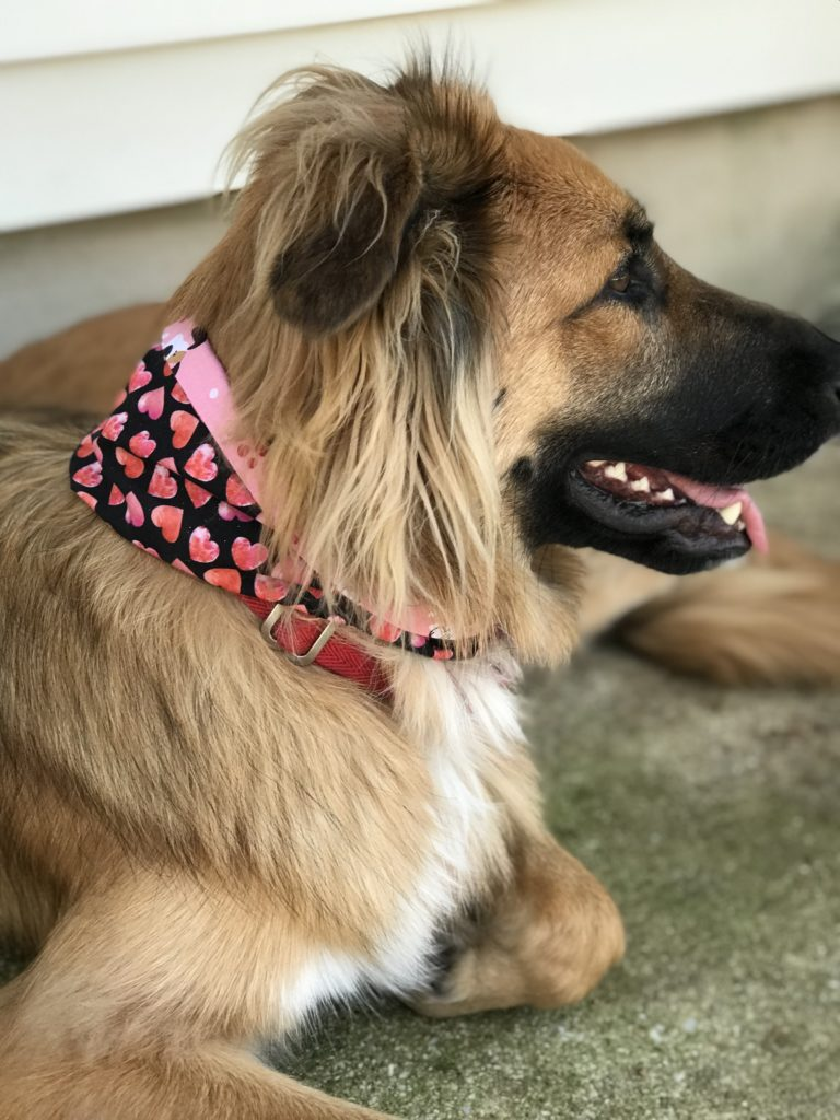 Lucy sporting her reversible snap on dog scarf