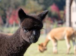 Marquam Hill Ranch in Salem an alpaca ranch