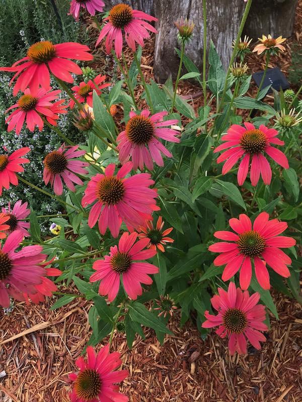 Susan's coneflower garden outside her studio for inspriation