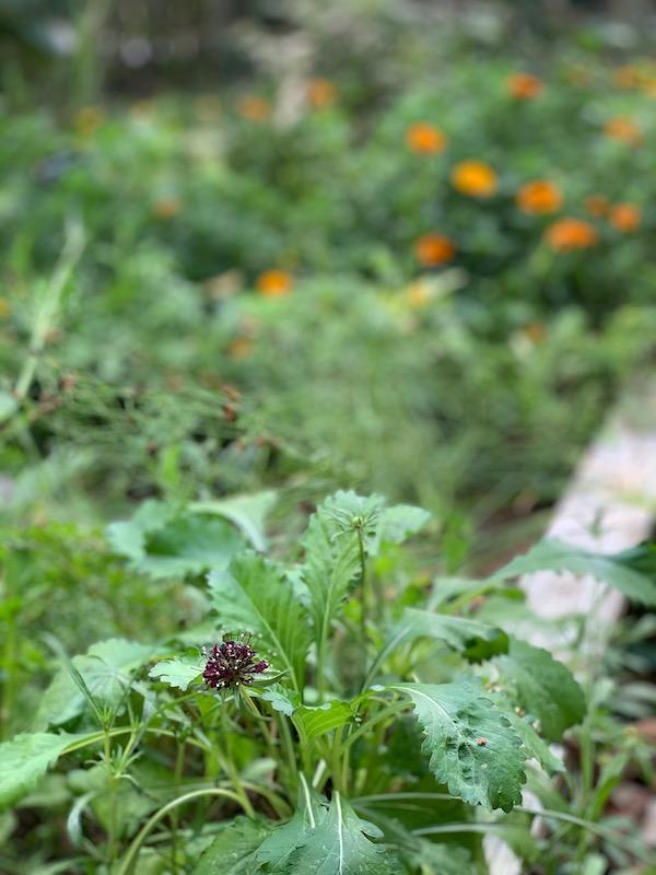 Scabiosa Dye Garden