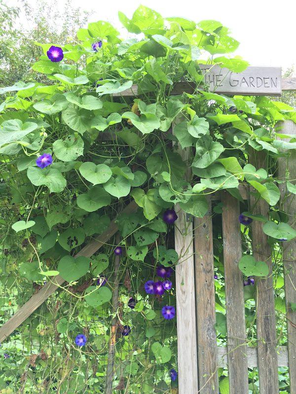 Rosemary Drysdale's garden