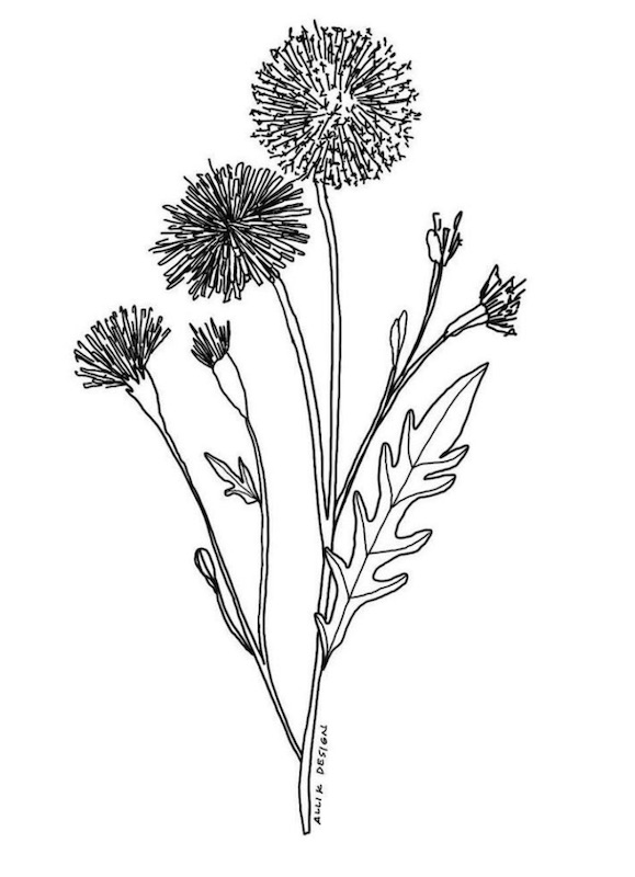 Dandelion illustration by Alli Koch