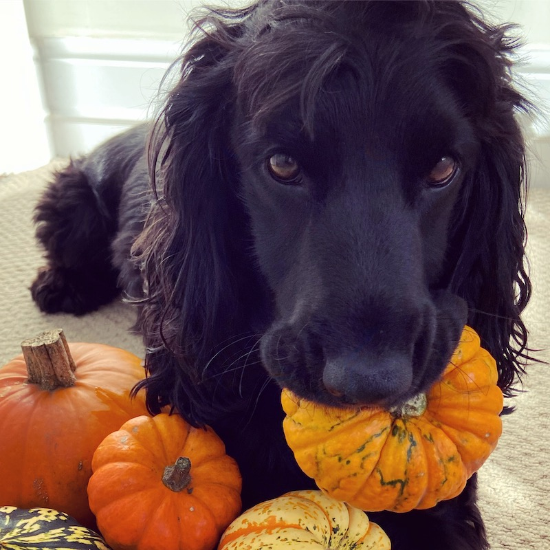 Murphy with pumpkins